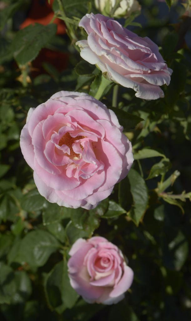 If you must fertilize roses before winter, do it now