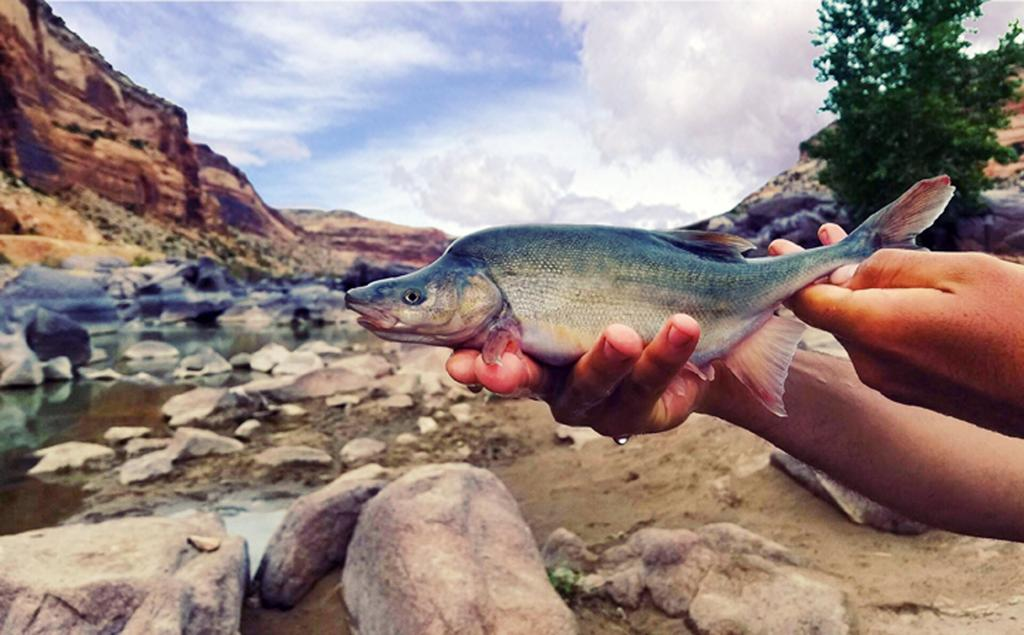 US formally removes Colorado River fish's endangered status